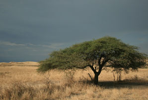 A tree in Kenya